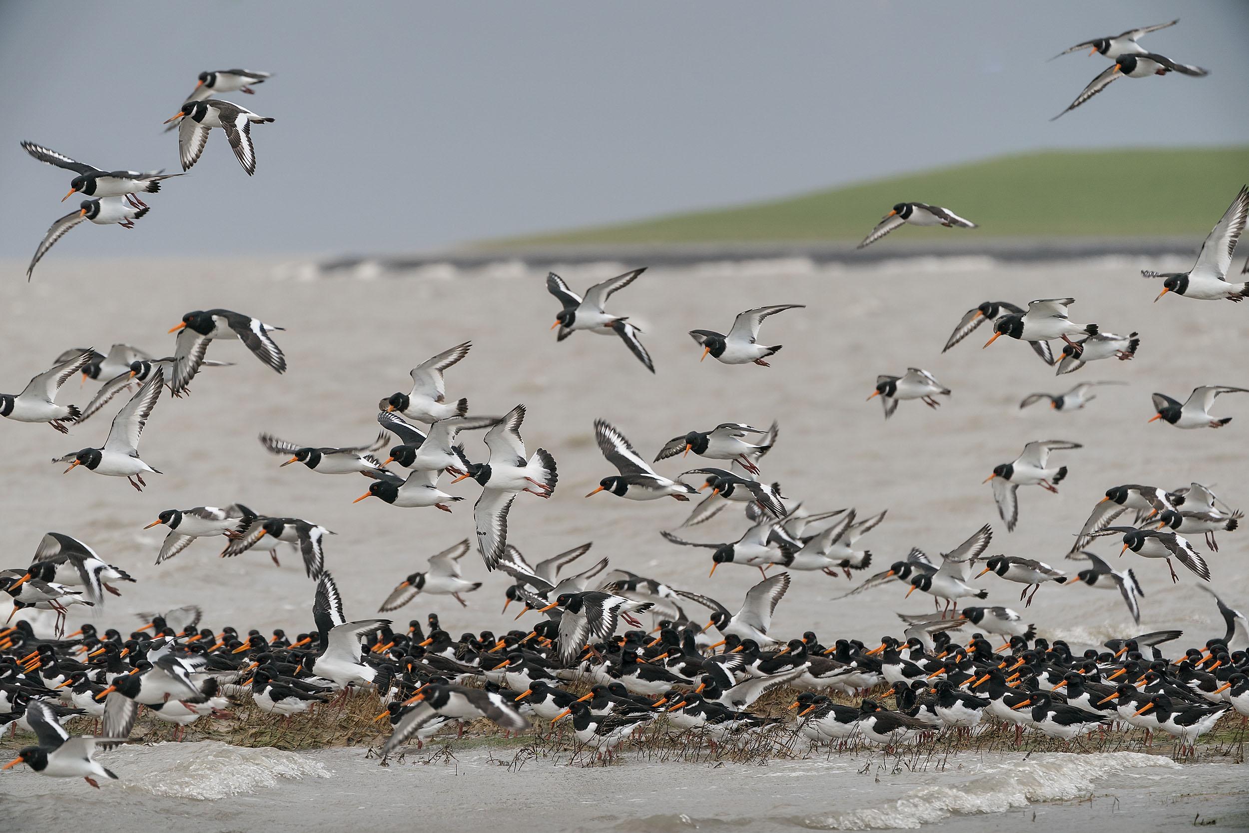 Austernfischer an Fuhlehörn auf Nordstrand
