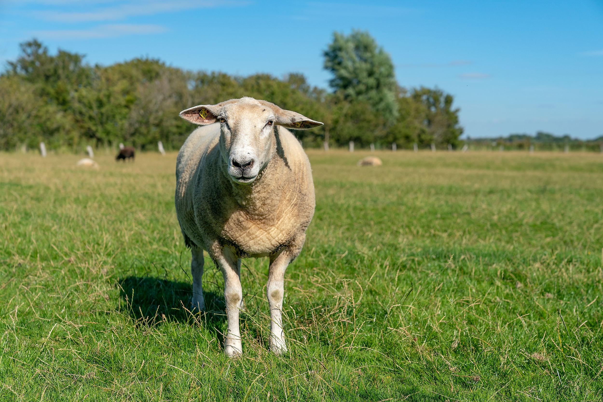 Schaf Finda auf der Fenne